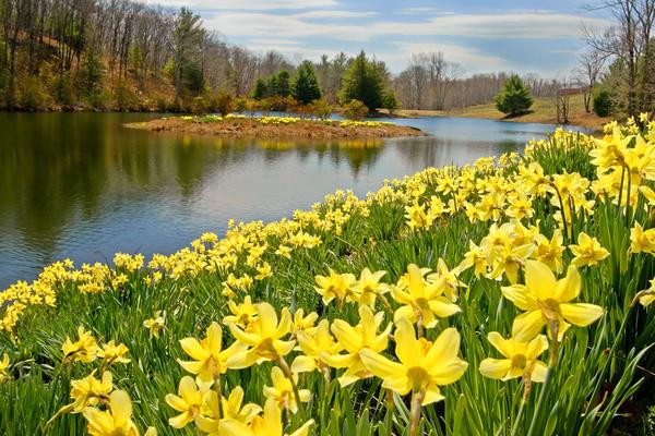 sunny-daffodil-bill-wakeley